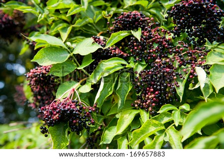Elderberry fruits fresh clusters on plant and green lush foliage of shrub plant, berries are edible after cooking, photo taken in open air, horizontal orientation, nobody. - stock photo