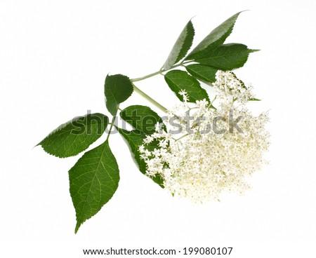 Elderberry or  sambucus nigra  isolated on white background - stock photo