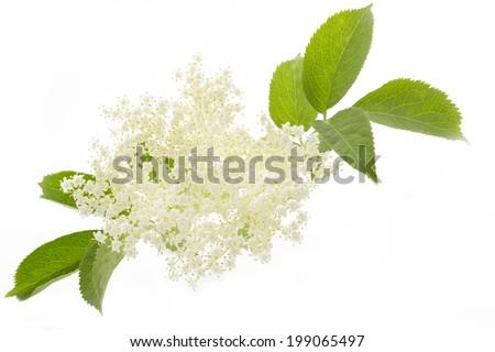 Elderflower on white background - stock photo