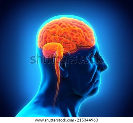 Elderly Male Brain Anatomy - stock photo