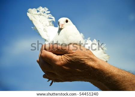 Elderly man hands holding a white dove against blue sky and sun concept of hope - stock photo