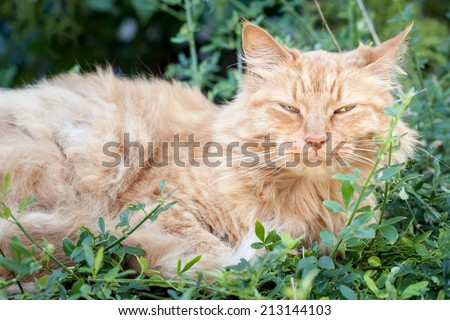 Elderly old ginger tabby cat with ruffled fur and a happy expression lying down and resting in the garden among green leaves - stock photo