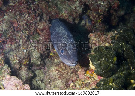 electric eel in adriatic sea - stock photo