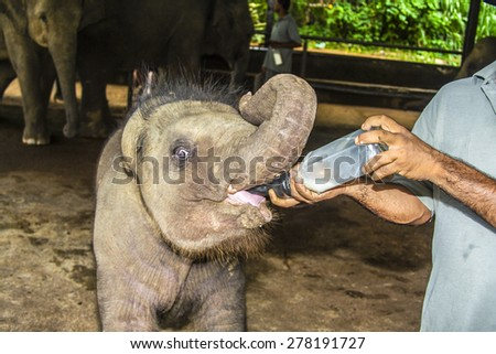 elefant baby gets milk to drink - stock photo