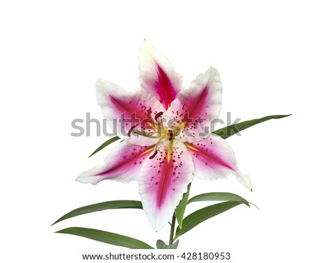 Elegant spotted pink lily with wavy petals close-up isolated on a white background - stock photo