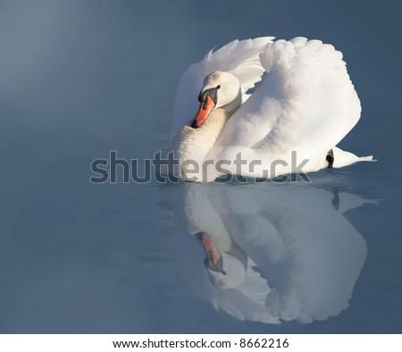 Elegant white swan - stock photo