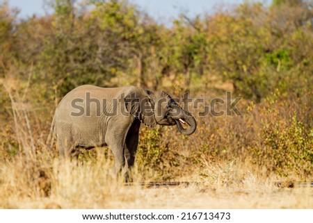 elephant  - stock photo