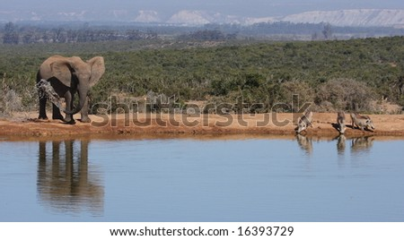Elephant and Warthogs drinking together at the waterhole. - stock photo
