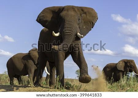Elephant Anger - stock photo