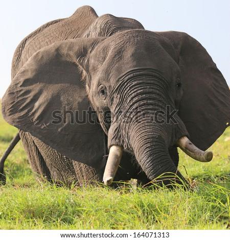 Elephant at Chobe National Park. Botswana - stock photo