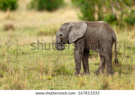Elephant baby tries with his trunk to eat small branches. - stock photo