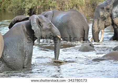 Elephant Bath Time in the Serengeti, Tanzania - stock photo