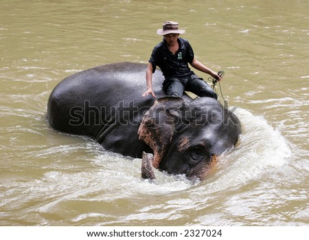 Elephant bathing in a river. - stock photo