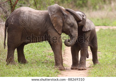 Elephant calf playing - stock photo