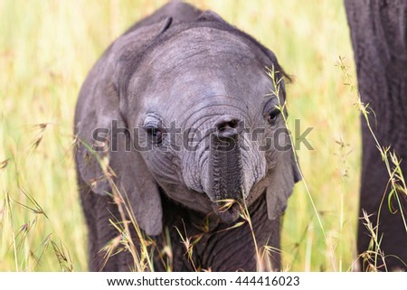 Elephant calf playing with his trunk in the grass - stock photo