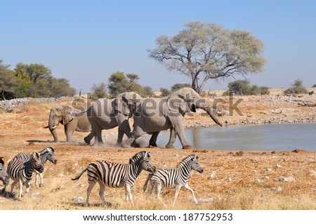 Elephant charging another elephant, Okaukeujo waterhole, Etosha National Park, Namibia  - stock photo