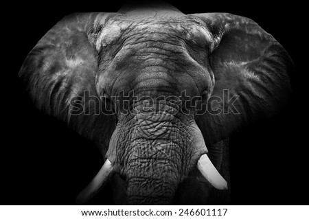 Elephant close up - stock photo