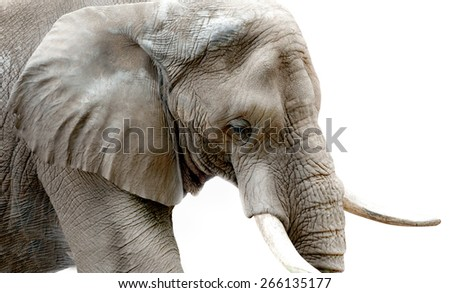Elephant Close Up High Key - stock photo