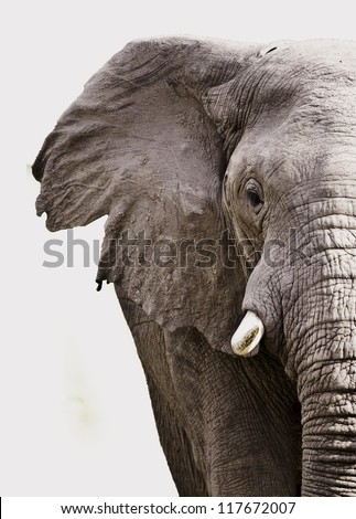 Elephant close up isolated on white - stock photo