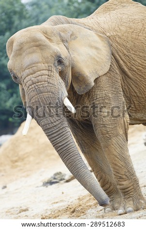 Elephant, close up with eye contact. - stock photo