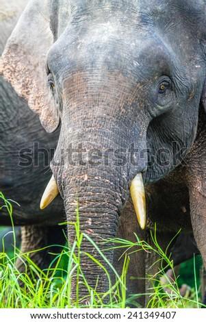 Elephant Closeup in the lush green Jungle - Kinabatangan safari, Borneo, Malaysia, Asia - stock photo