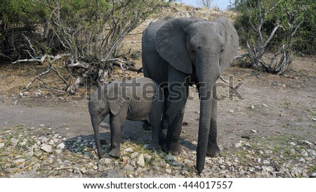 elephant cow, baby elephant hiding from the tourists in the African savannah, Botswana - stock photo
