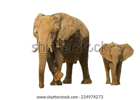 Elephant cow with baby against a white background; Loxodonta africana - stock photo