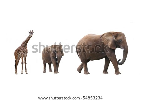 Elephant cow with baby elephant and giraffes on white background - stock photo