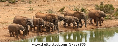 Elephant cows and calves at the waterhole. - stock photo