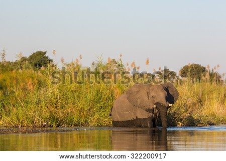 Elephant crossing a river in northern Namibia, Africa - stock photo
