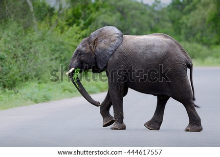 Elephant crossing. Elephant crossing a road in Kruger national park - stock photo