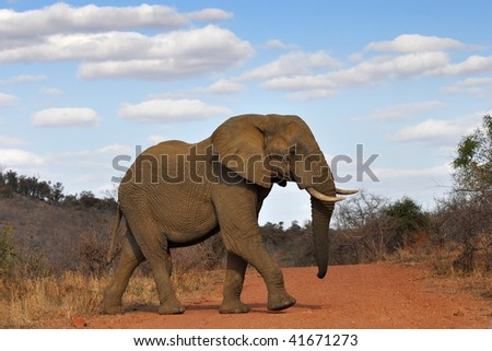 elephant crossing red road in Kruger national park,South Africa - stock photo