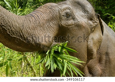 Elephant eating bamboo forest in Thailand - stock photo