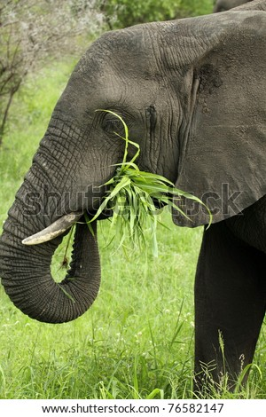 elephant eating grass showing trunk with grass in mouth - stock photo