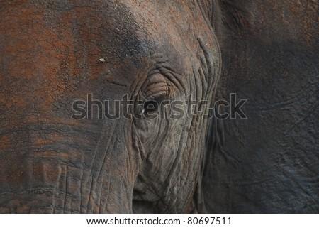 Elephant Eyelashes - stock photo