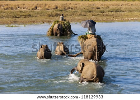 elephant family cross the river in national park, Nepal - stock photo