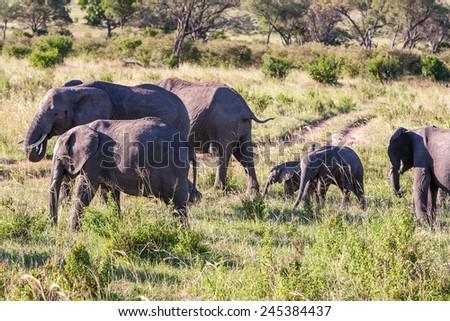 elephant family walking in the savanna - stock photo