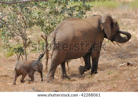 Elephant female with 2 weeks calf,Kruger National Park,South Africa - stock photo