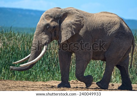 Elephant Giant Side View - stock photo