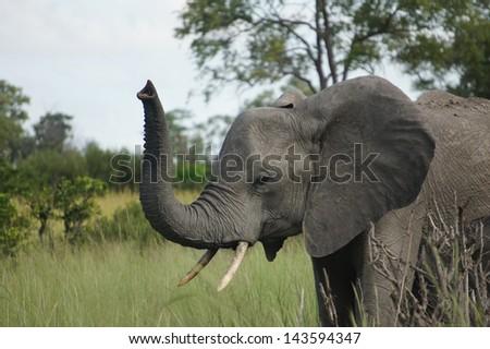 elephant greeting - stock photo