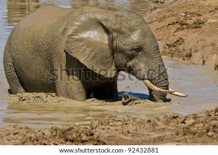 Elephant having a cool mud bath in a watering hole - stock photo