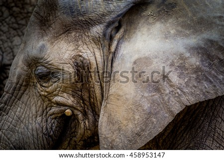 Elephant Head From Side With Big Ear - stock photo