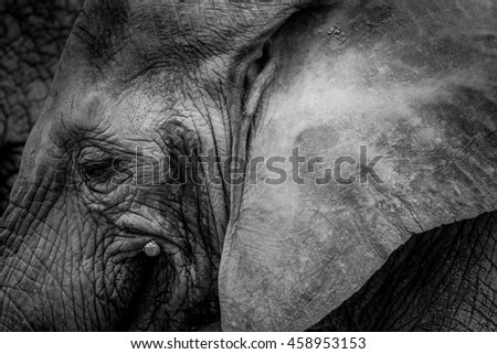 Elephant Head From Side With Big Ear In Vintage Black And White - stock photo