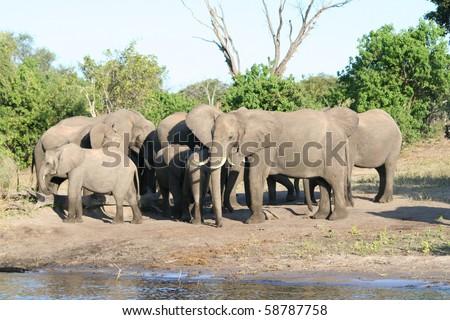 Elephant_Herd_Chobe_6 - stock photo