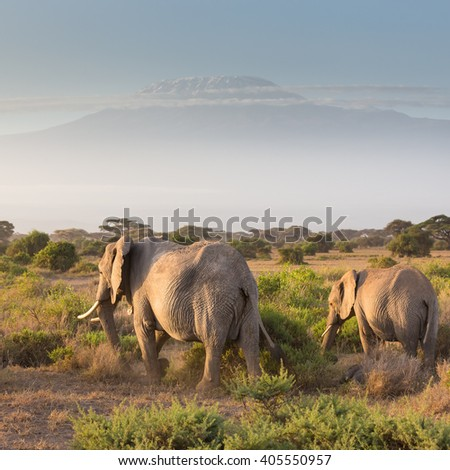 Elephant herd in Amboseli national park in Kenya. Mt. Kilimanjaro in Tanzania can be seen in background.  - stock photo