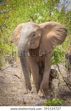 Elephant herd on the move, Kruger National Park, South Africa - stock photo