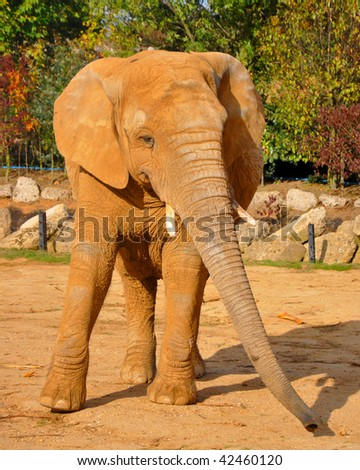 Elephant in Captivity - stock photo
