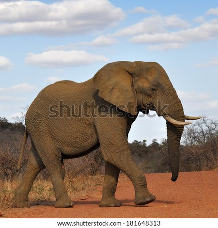 elephant in Kruger national park in South Africa - stock photo