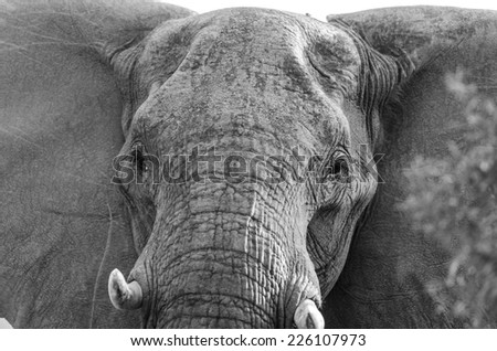 Elephant in Kruger Park South Africa - stock photo