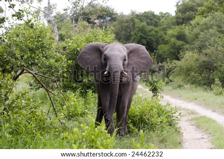Elephant in Kruger Park, South Africa - stock photo